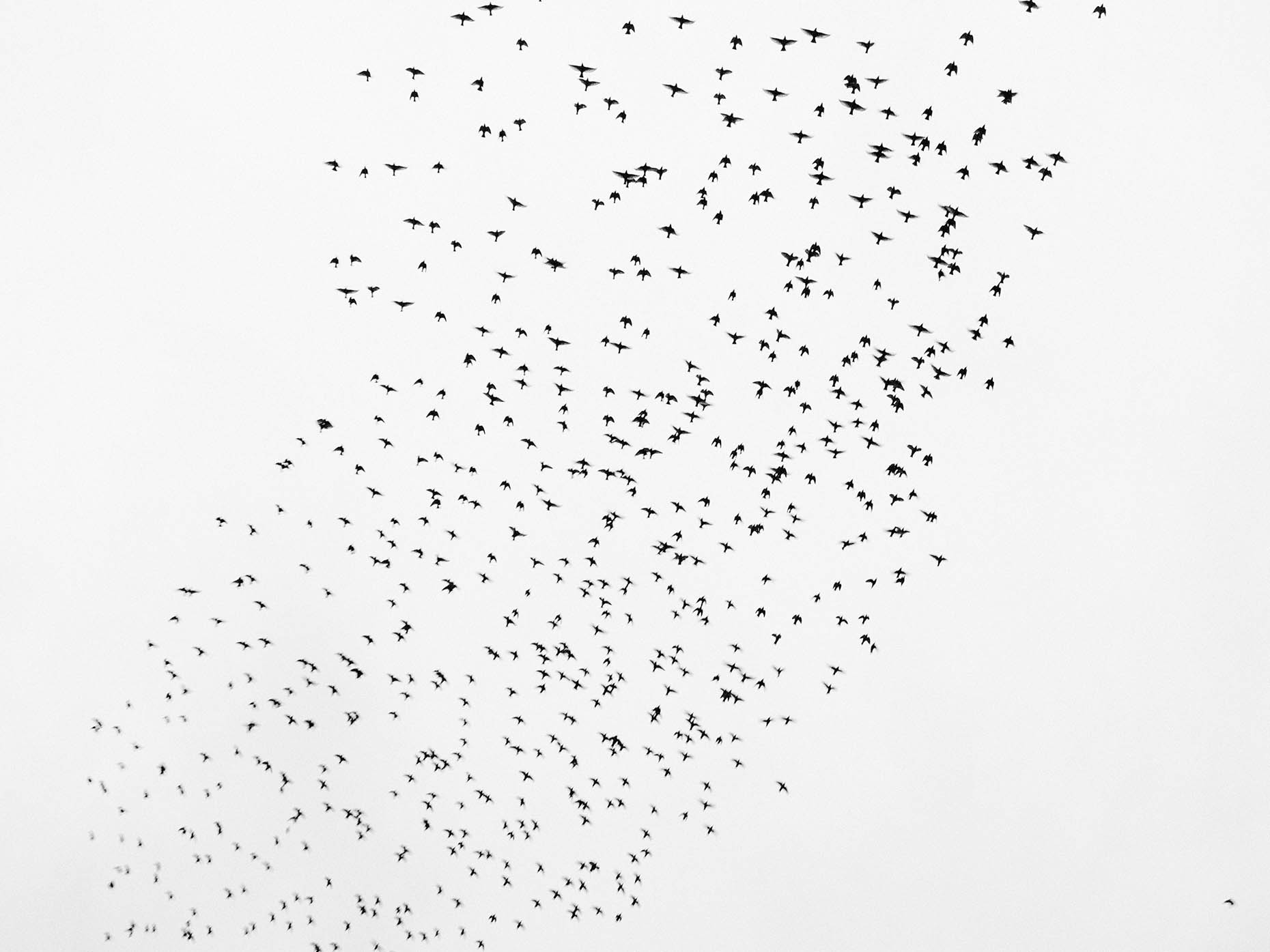 Vogelzwerm Flock of Birds